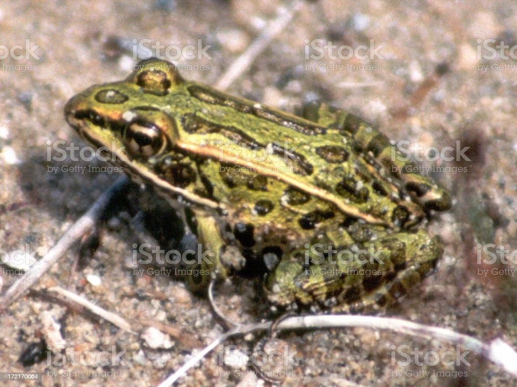 Leopard Frog sitting stock photo