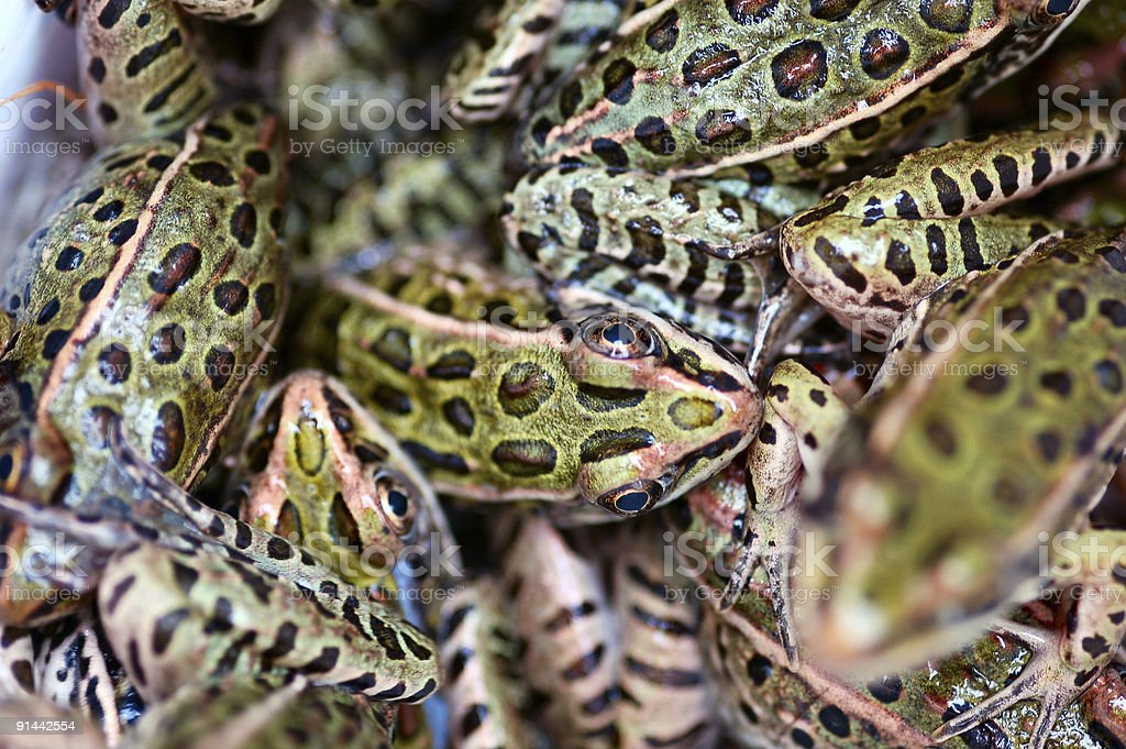 Leopard frogs royalty-free stock photo