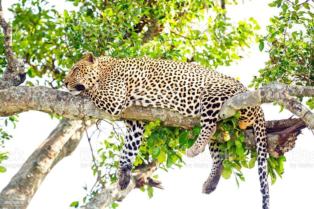 Leopard full stomach stock photo