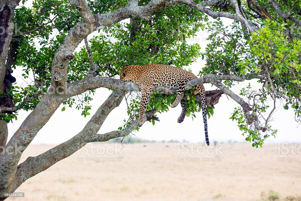 Leopard full stomach stock photo