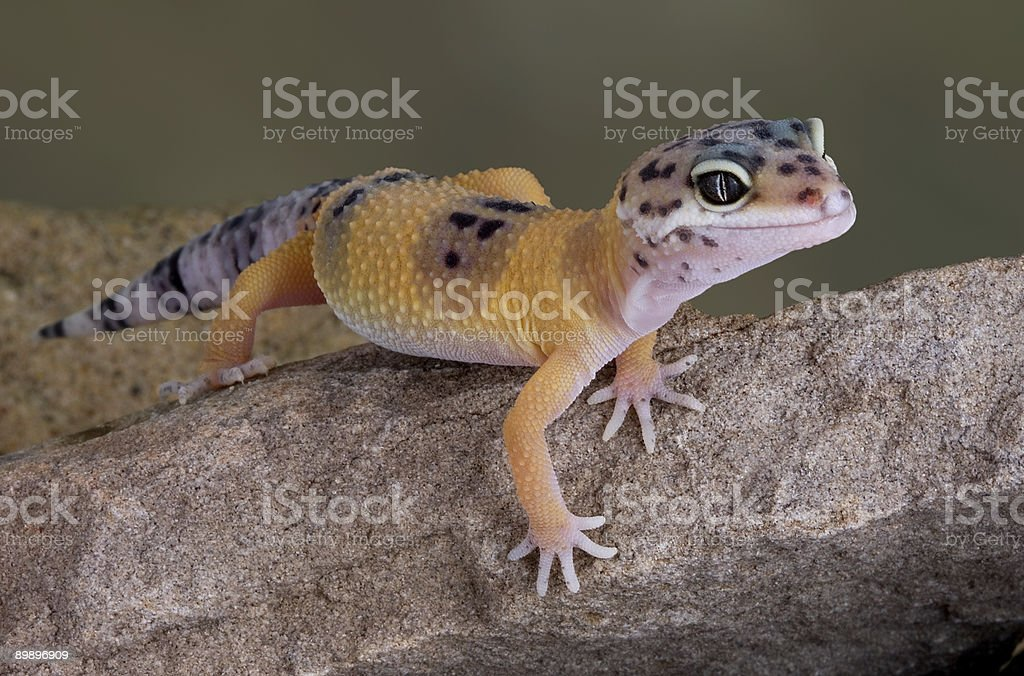 Leopard Gecko crawling on rock royalty-free stock photo