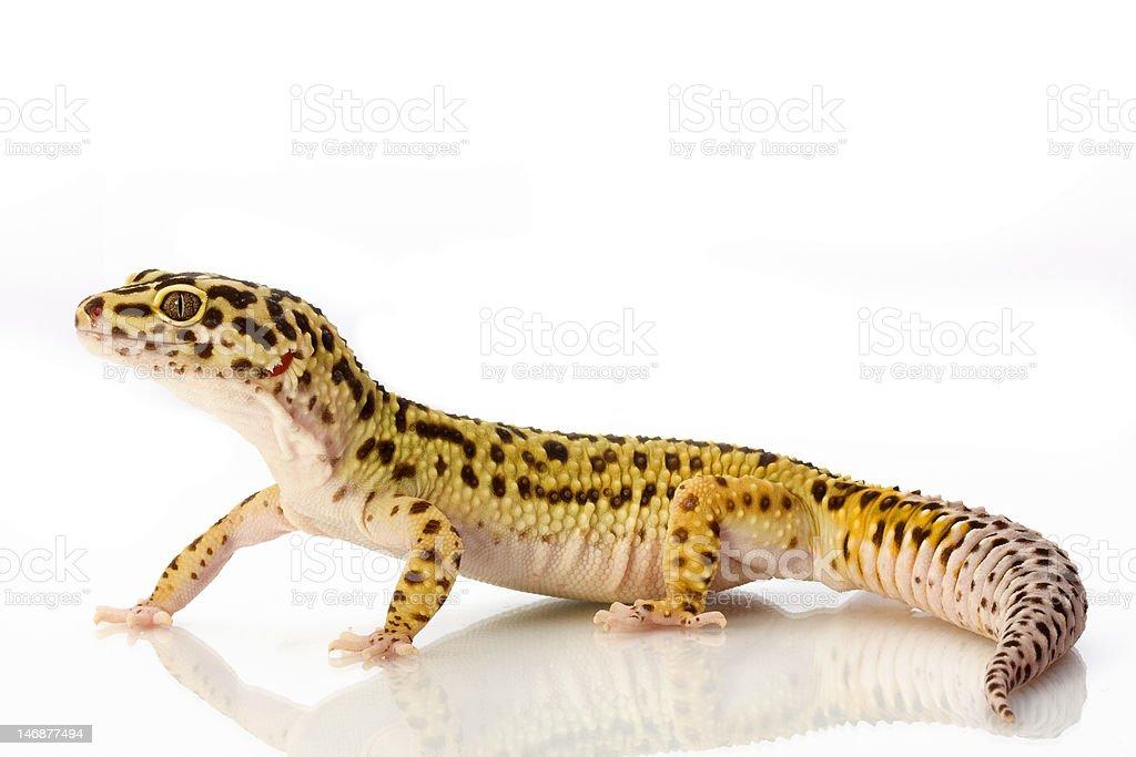 Leopard Gecko - Eublepharis macularius royalty-free stock photo