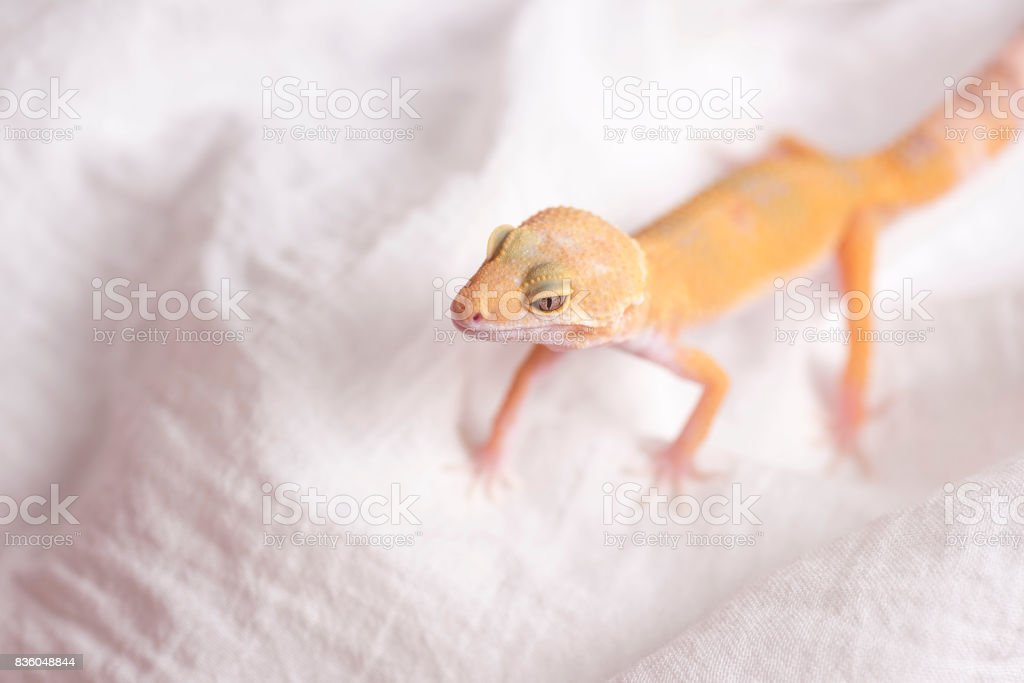 Gecko Leopardo En Tela Blanca Stock Foto e Imagen de Stock 836048844 ...