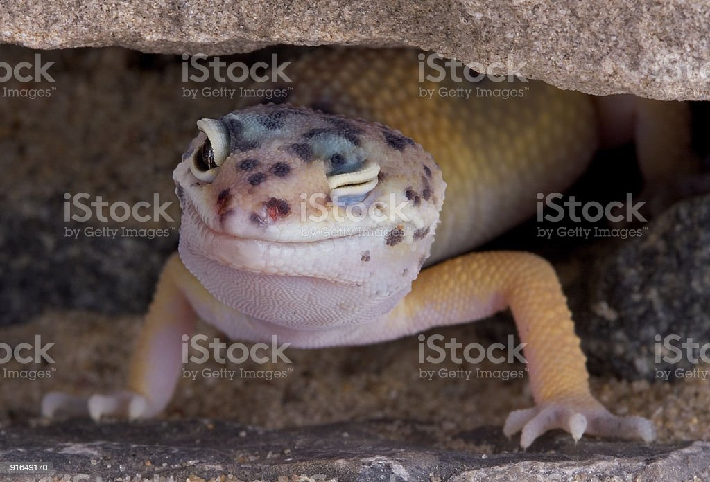 Leopard gecko winking stock photo