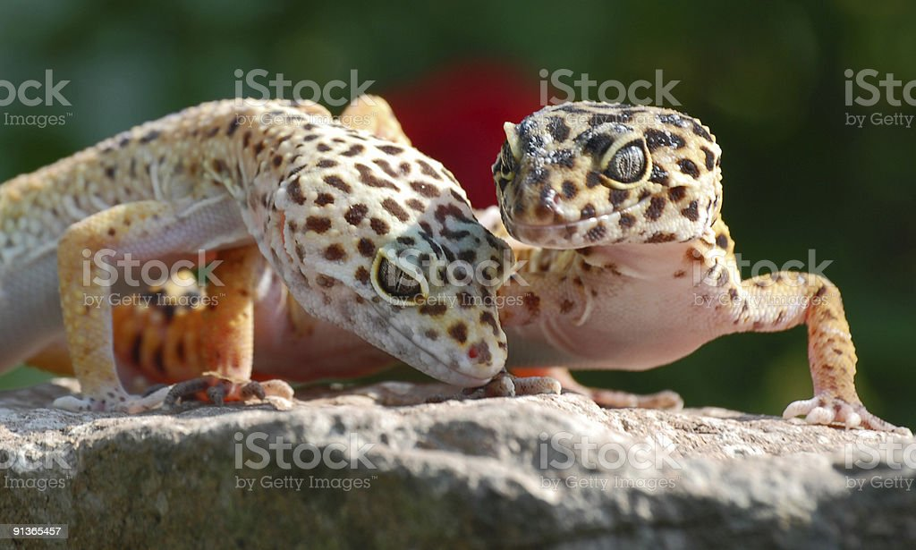 Leopard geckoes#2 royalty-free stock photo