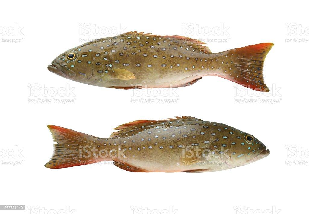 Leopard grouper or Cephalopholis miniatus fish of sea animals in stock photo
