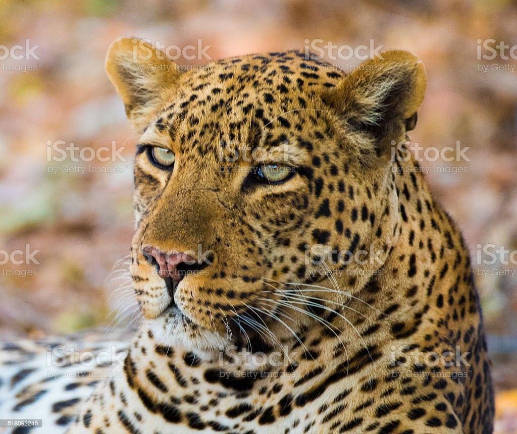 Leopard Head Portrait royalty-free stock photo
