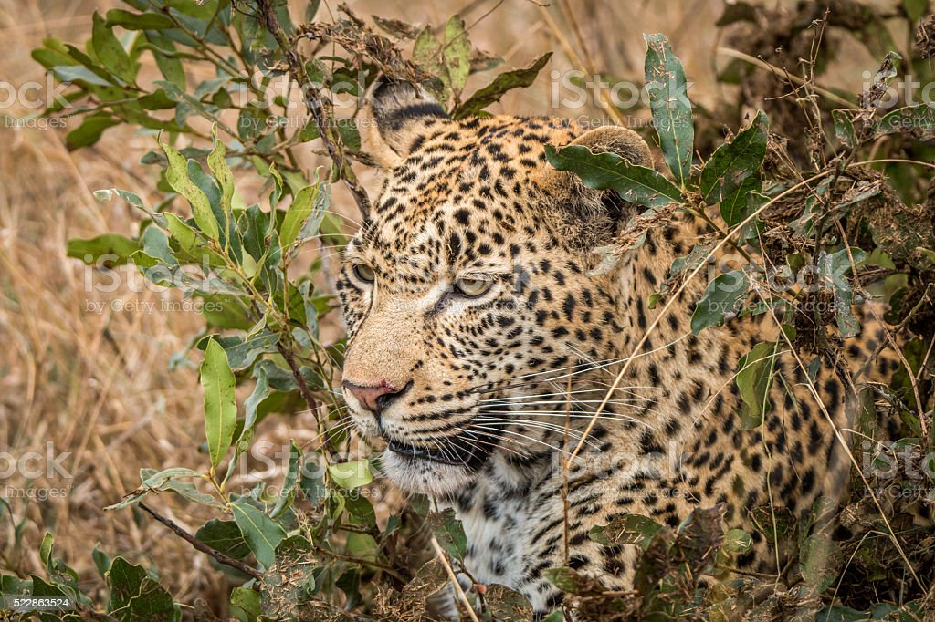 Leopard hiding in the bushes in the Sabi Sands. stock photo