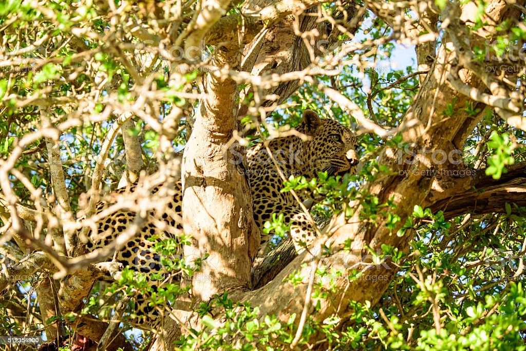 Leopard hiding in the tree tops stock photo