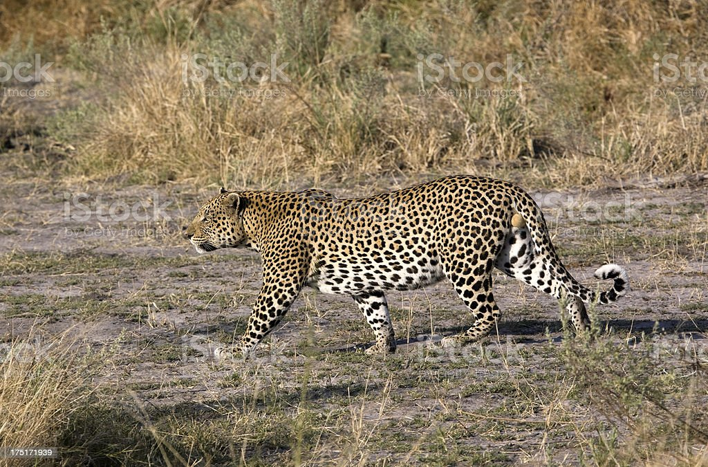 Leopard Hunting royalty-free stock photo