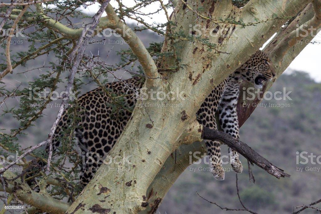 Leopard in a tree in Serengeti. stock photo