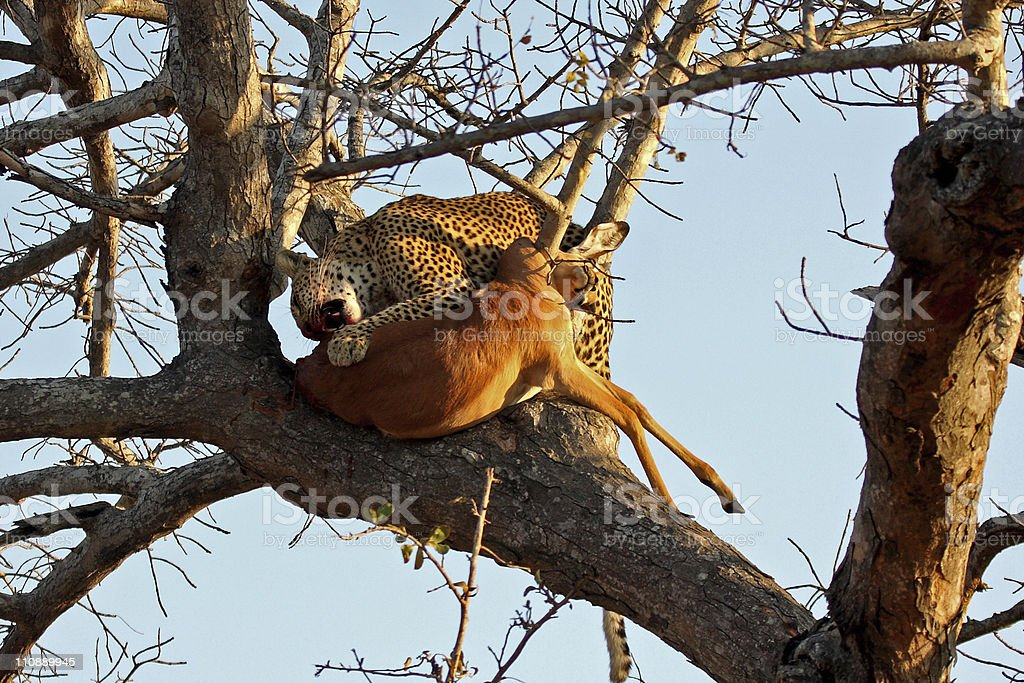 Leopard in a tree with kill royalty-free stock photo