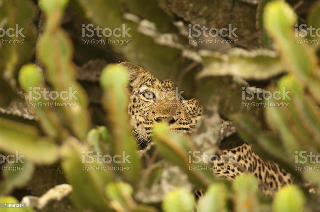 Leopard in Cactus stock photo