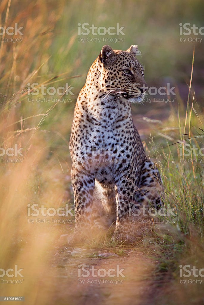Leopard in early morning light stock photo