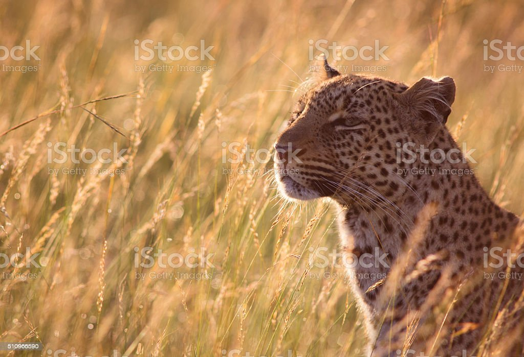 Leopard in high grass stock photo