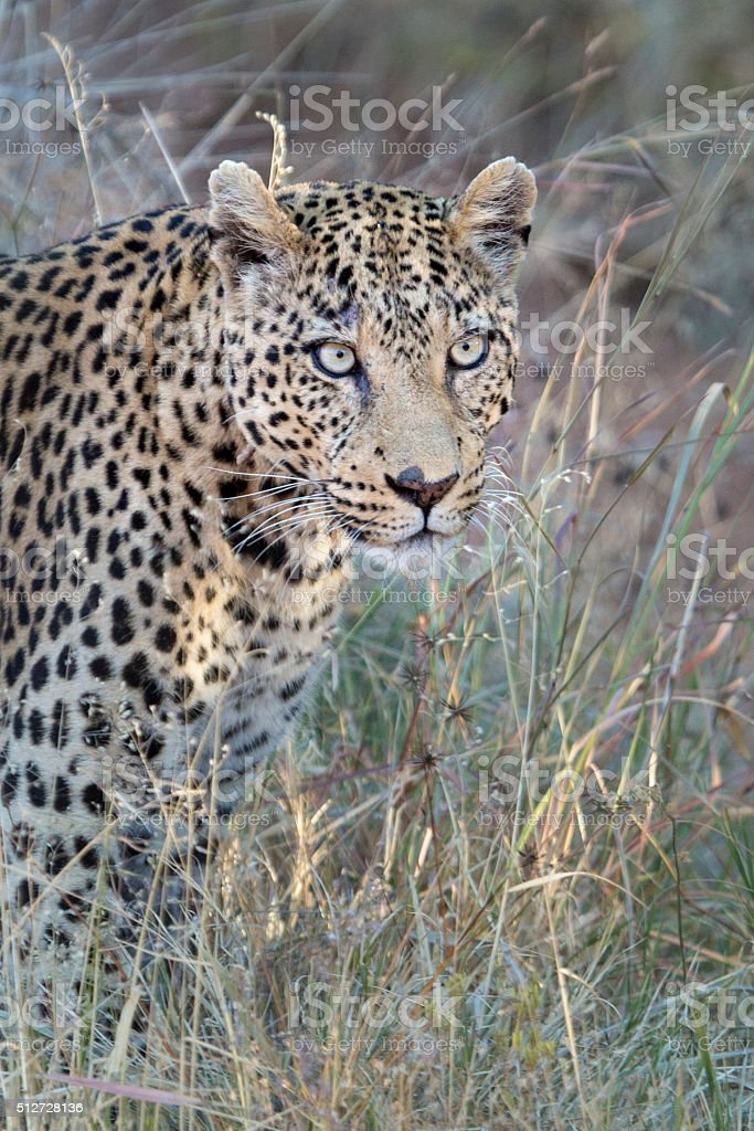 Leopard in long grass stock photo