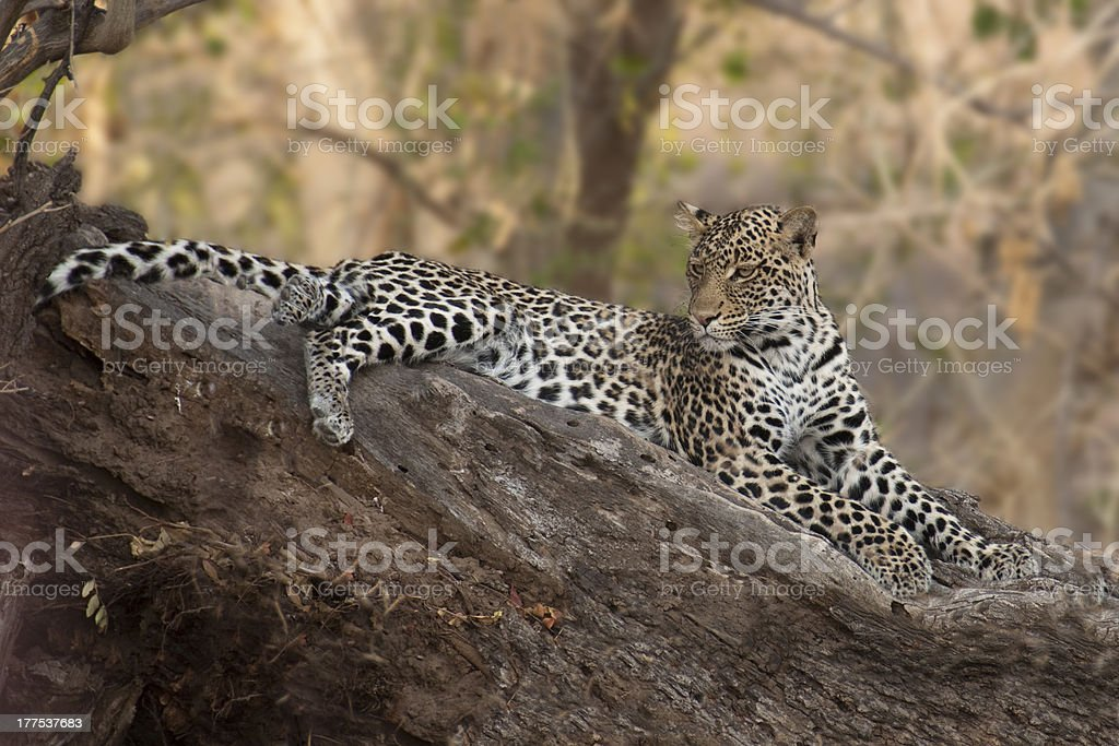 Leopard in Mashatu Game Reserve, Botswana stock photo