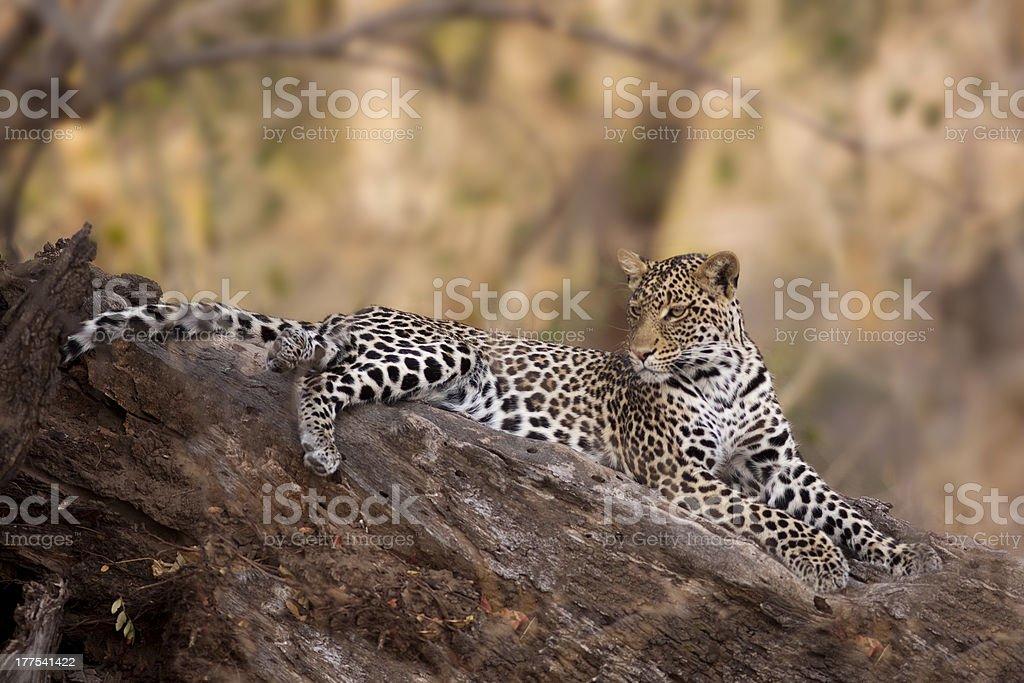 Leopard in Mashatu Game Reserve, Botswana stock photo