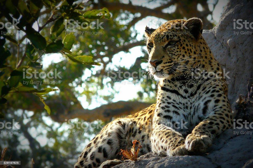 Leopard in Okavango delta, Poom-Poom Island, Botswana, Africa stock photo