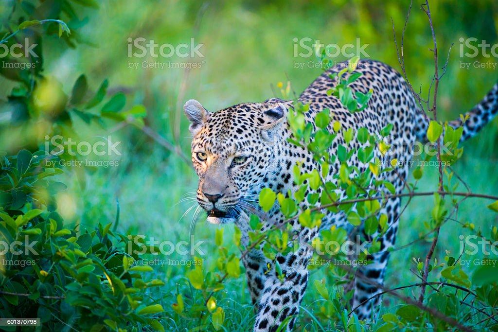 Leopard in rain royalty-free stock photo