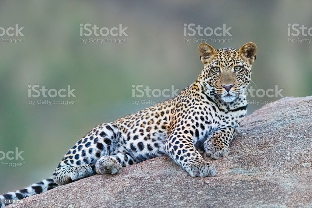 Leopard in Serengeti National Park, Tanzania Africa stock photo