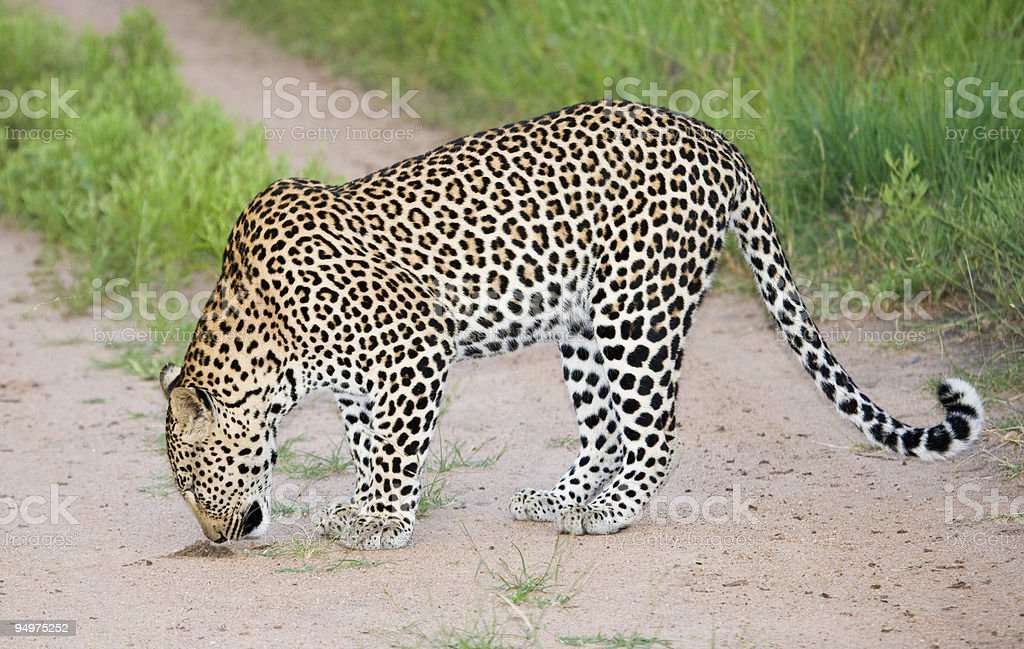 Leopard in the Road royalty-free stock photo