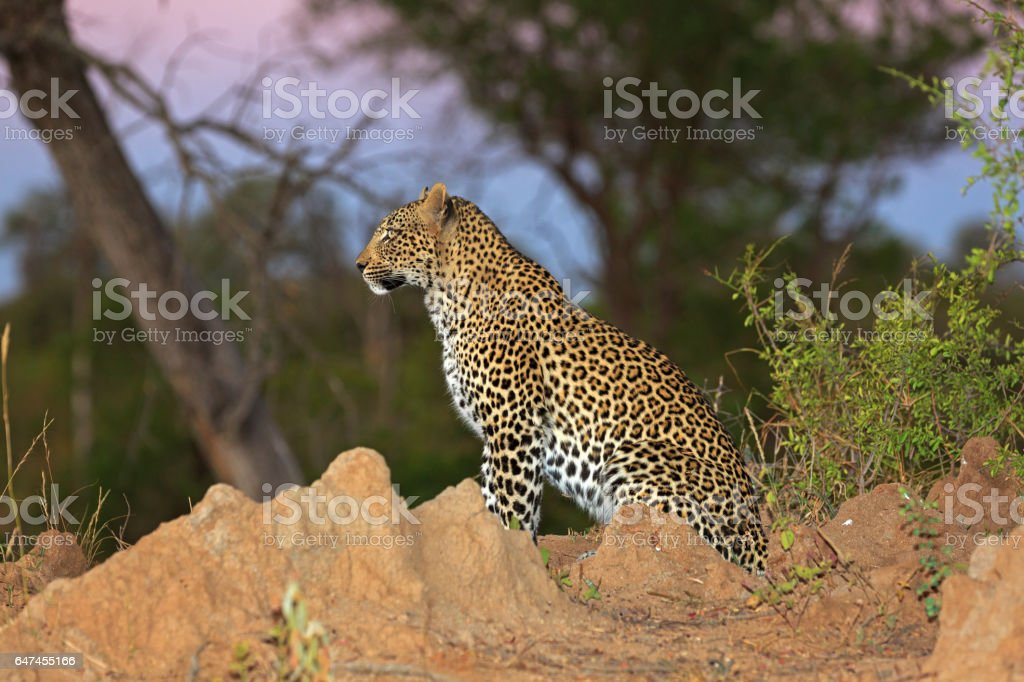 Leopard in the Sabi Sands Private Game Reserve in South Africa stock photo
