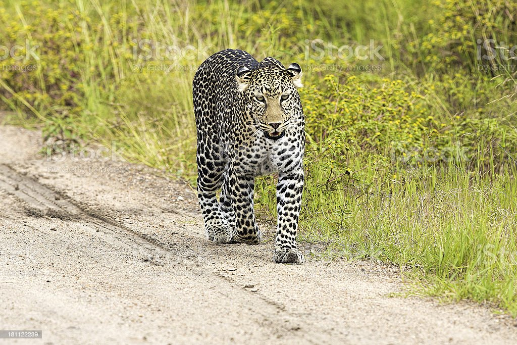 Leopard in the savannah royalty-free stock photo