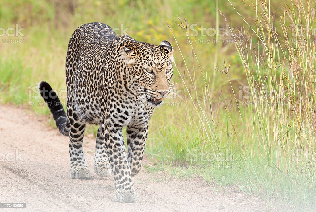 Leopard in the savannah - walking and watching royalty-free stock photo