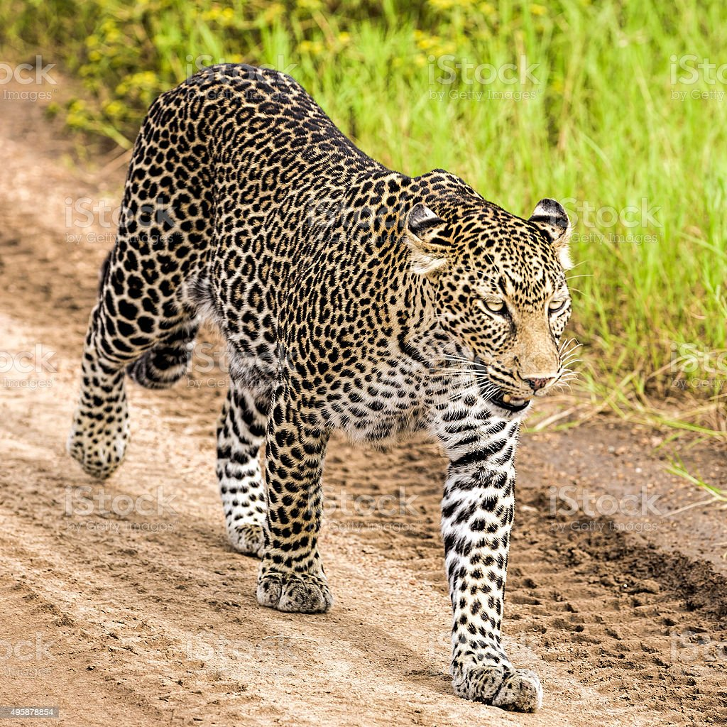Leopard in the savannah - walking and watching stock photo