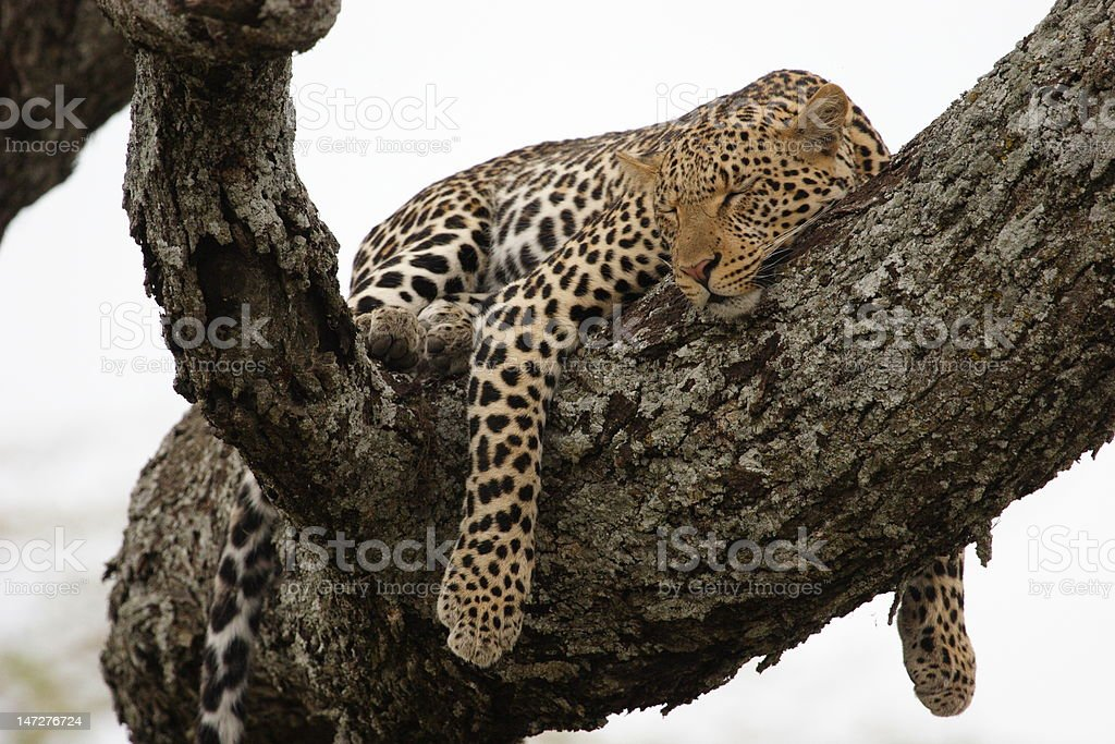Leopard in the tree royalty-free stock photo