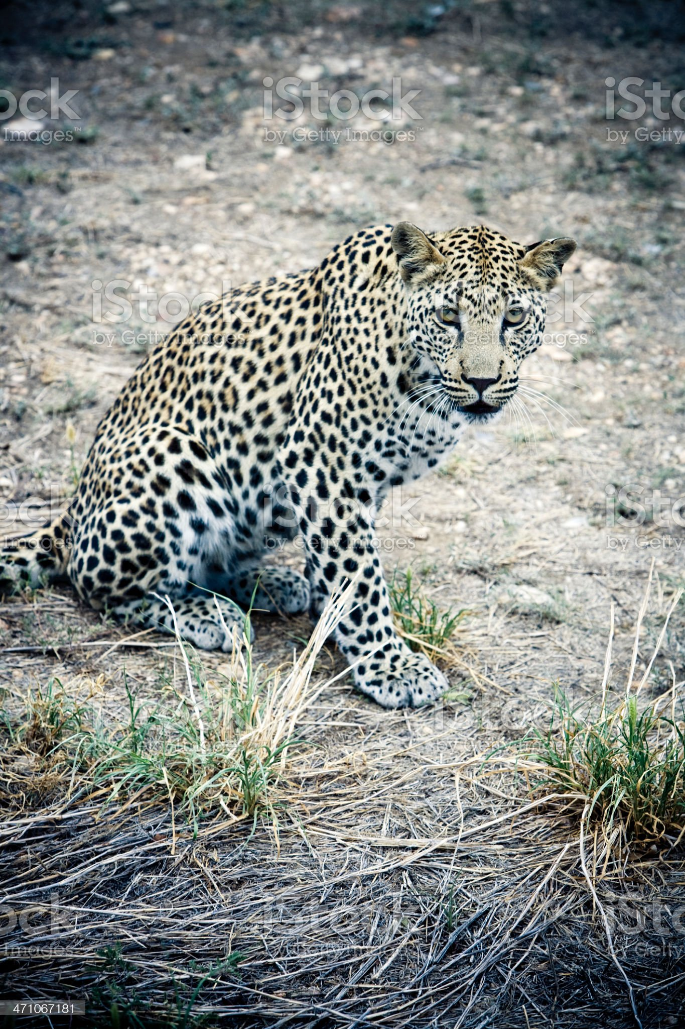 Leopard in the Wilderness royalty-free stock photo