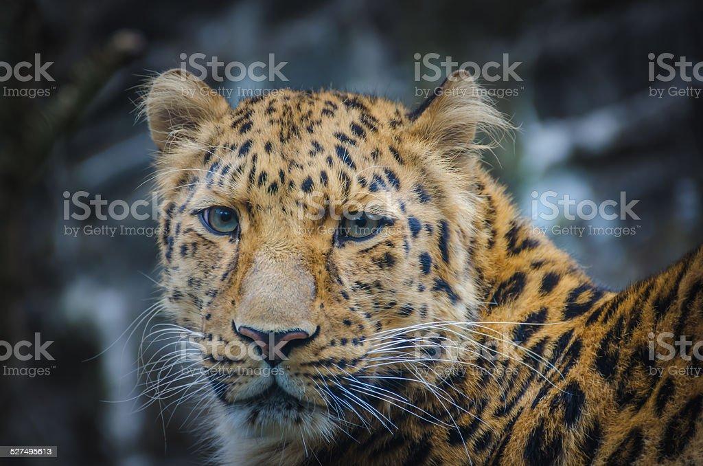 Leopardo in Zoo foto stock royalty-free