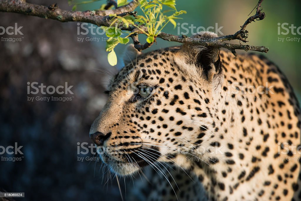 Leopard in tree royalty-free stock photo