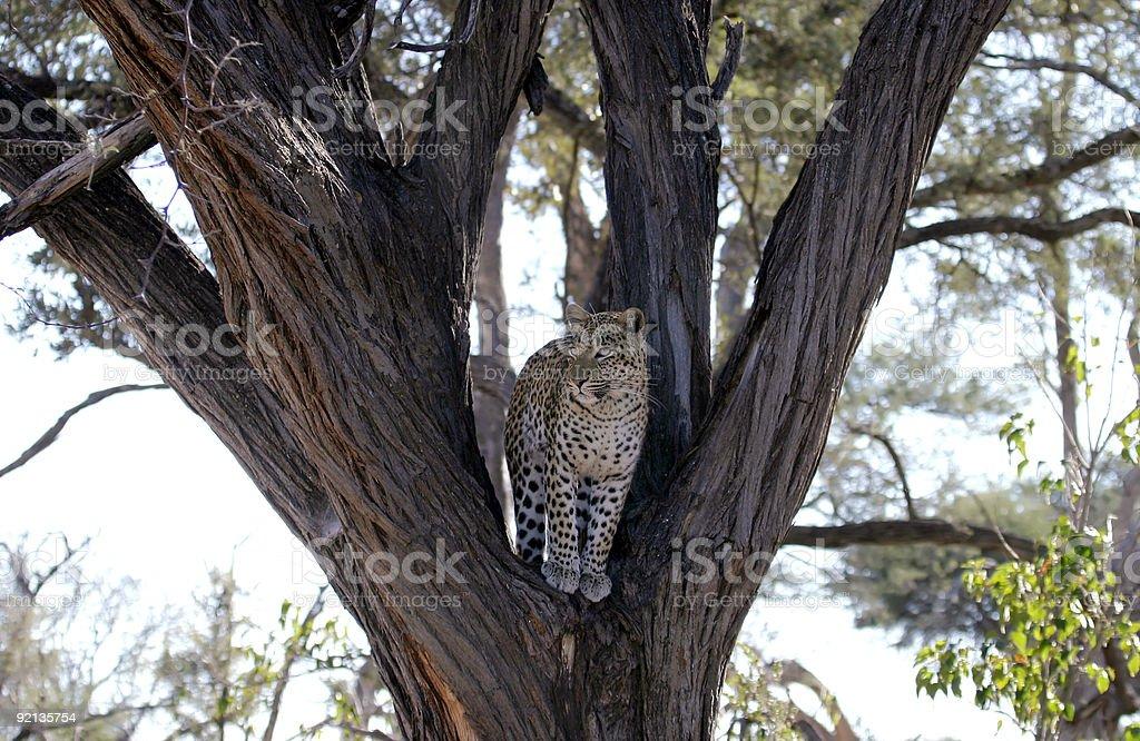 Léopard dans un arbre photo libre de droits