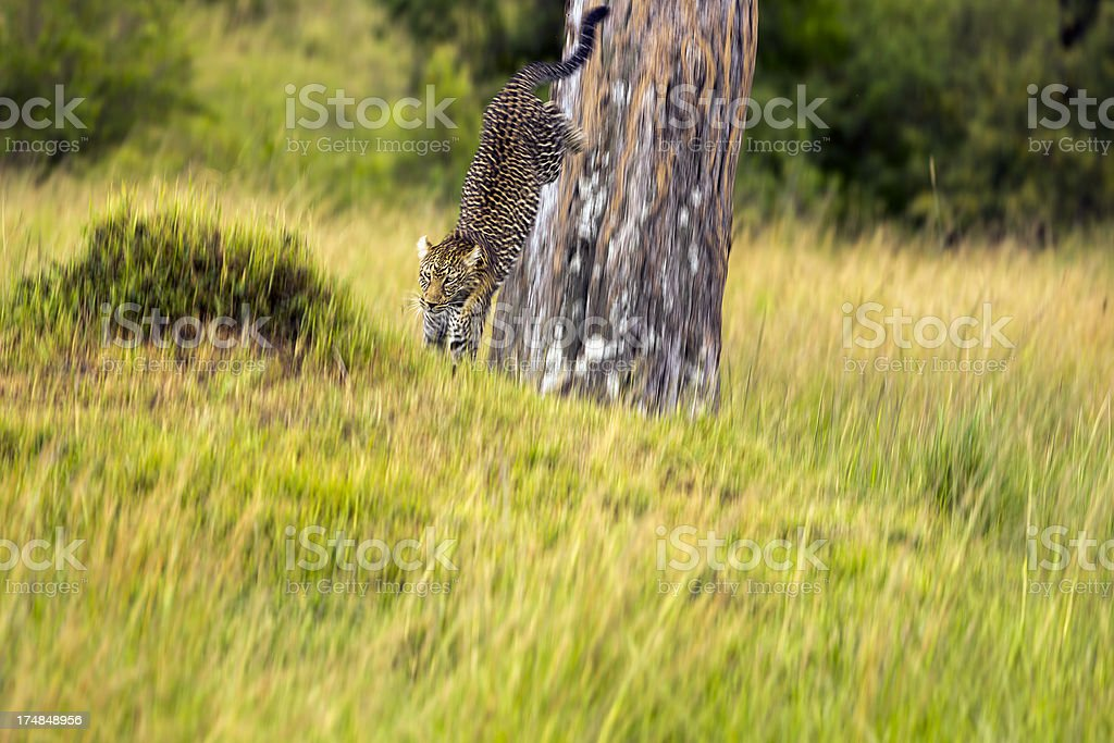 Leopard - jumping royalty-free stock photo