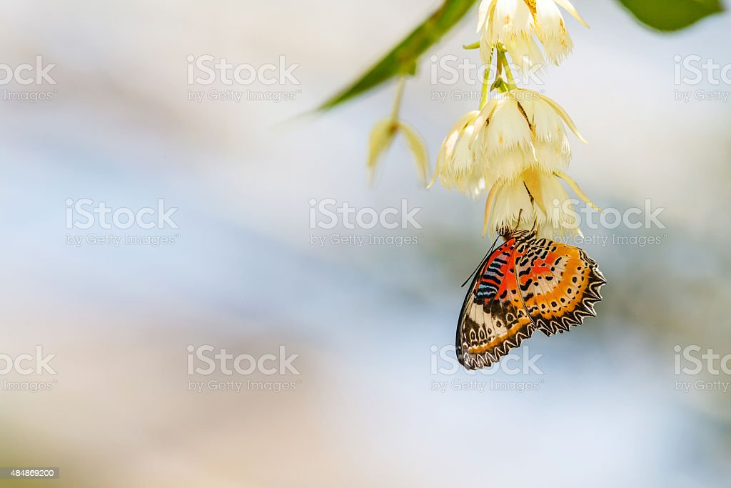Leopard LaceButterfly (Cethosia cyane) is sucking nectar stock photo