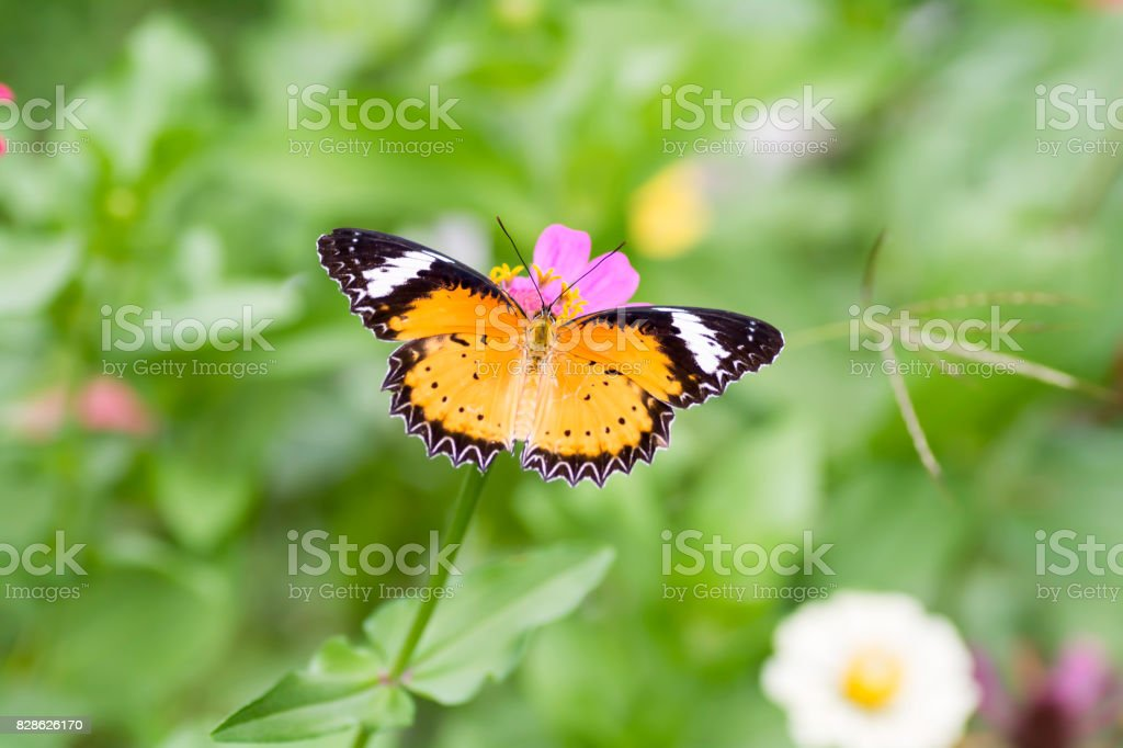 Leopard Lacewing butterfly are sucking nectar from pollen stock photo