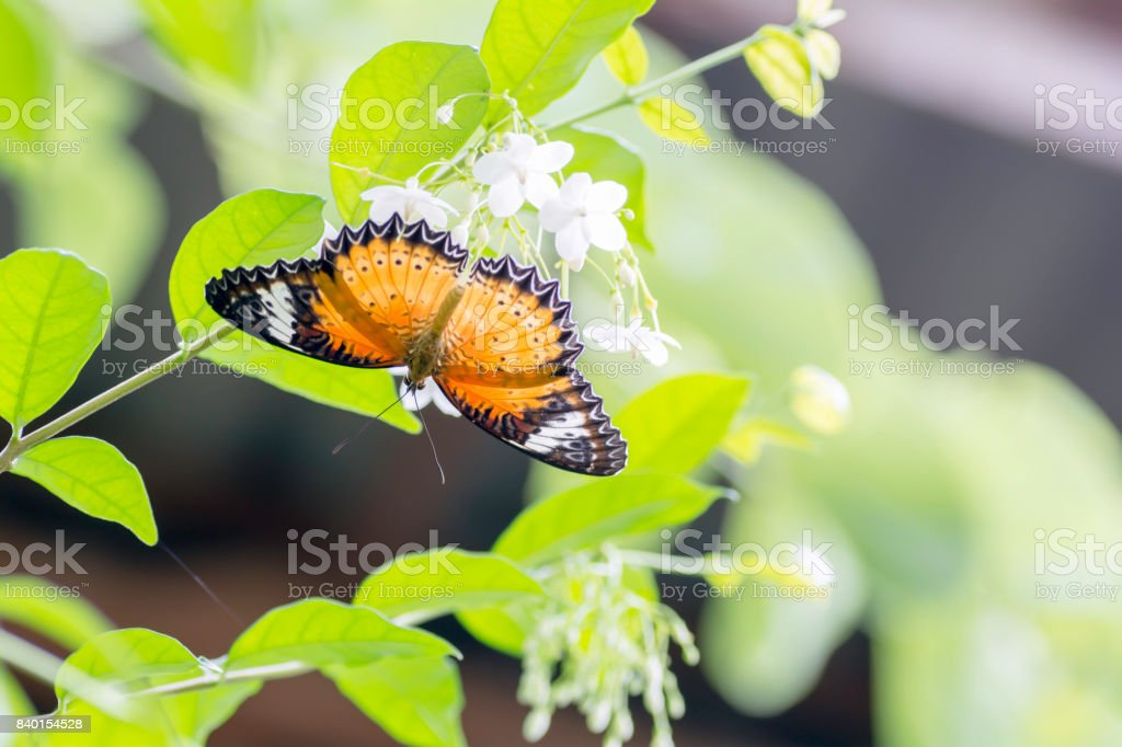 Leopard Lacewing butterfly are sucking nectar from pollen with morning sun. stock photo