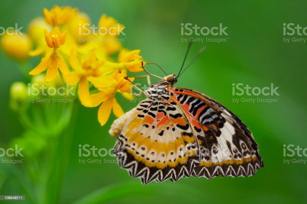 Leopard Lacewing Butterfly, Cethosia cyane stock photo