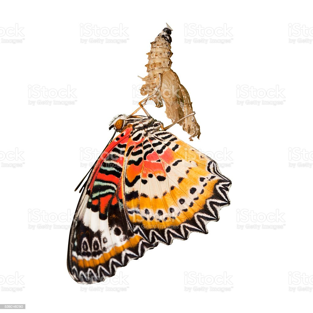 Leopard lacewing butterfly come out from pupa isolated stock photo