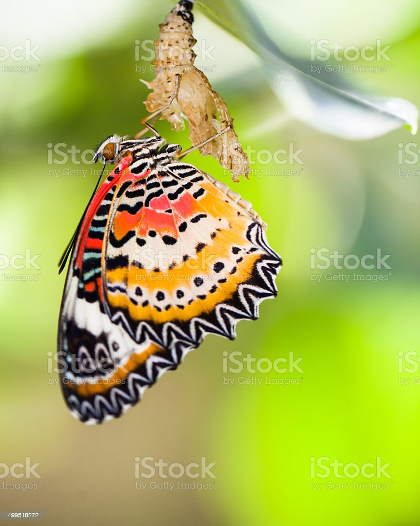 Leopard lacewing butterfly come out from pupa stock photo