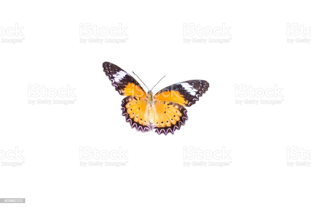 Leopard Lacewing Butterfly isolated on white background stock photo