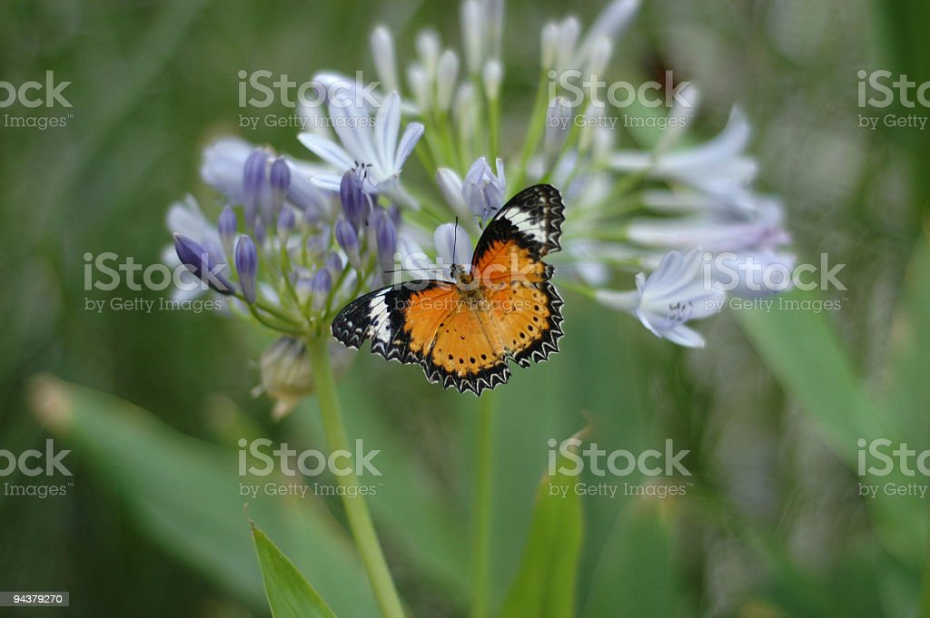 Leopard Lacewing butterfly on Agapanthus flower stock photo