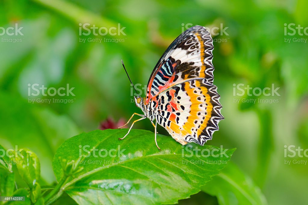 Leopard Lacewing Butterfly on Green Leaf stock photo