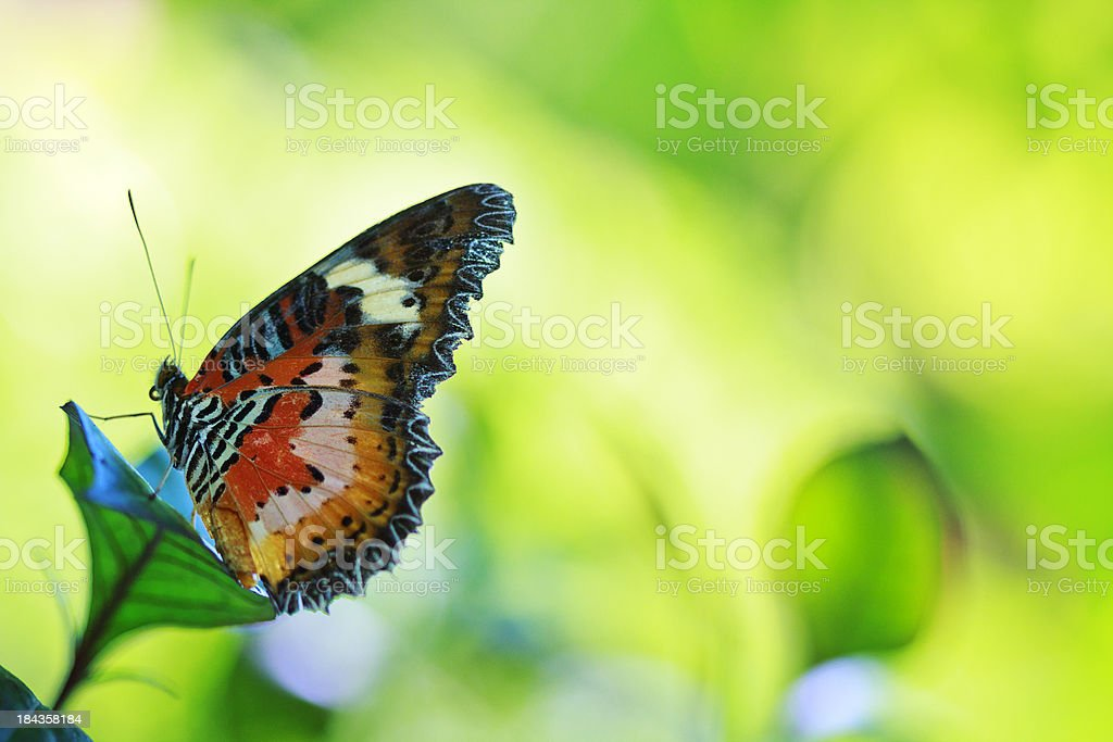 Leopard Lacewing Butterfly on green royalty-free stock photo