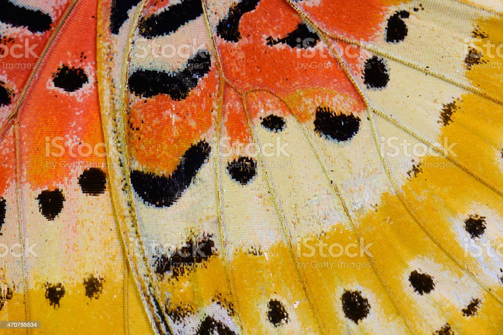 Leopard Lacewing Butterfly (Cethosia cyane) stock photo