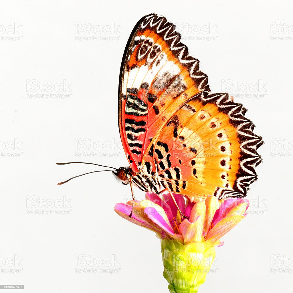 Leopard Lacewing butterfly stock photo