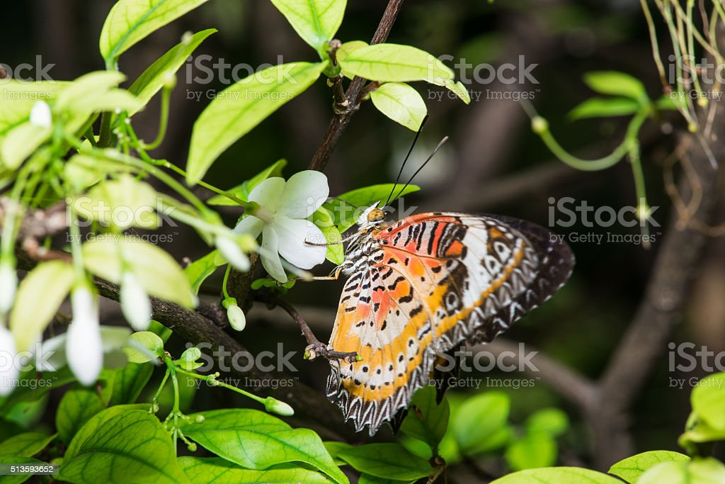 leopard lacewing butterfly. stock photo