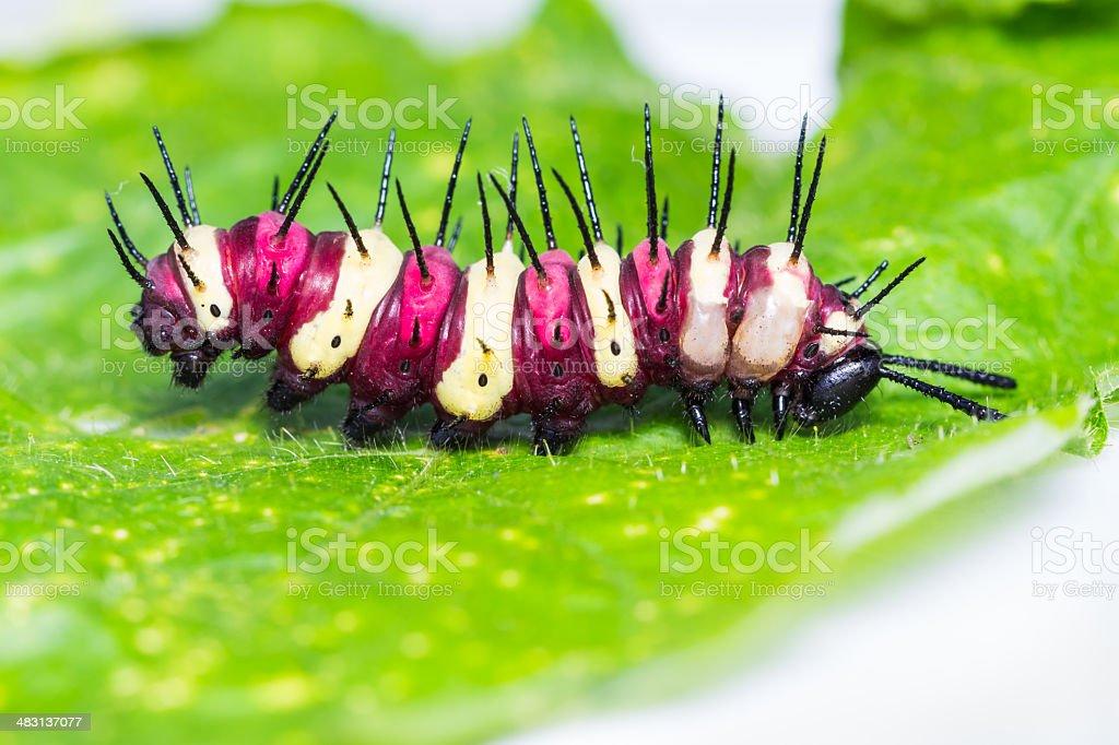 Leopard lacewing caterpillar stock photo